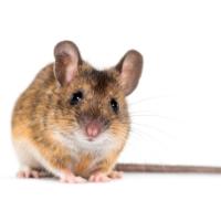 Servizi derattizzazione topi